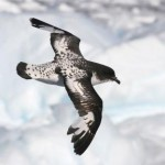 totem-stormvogel