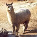 totem_alpaca